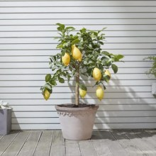 lemon-tree-d72b5c